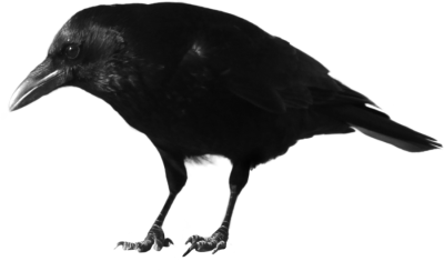 Crow High Quality PNG PNG Images