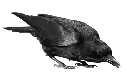Crow Transparent Background PNG Images