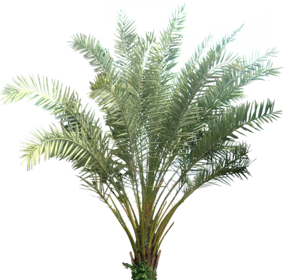 Date Palm Cut Out PNG Images