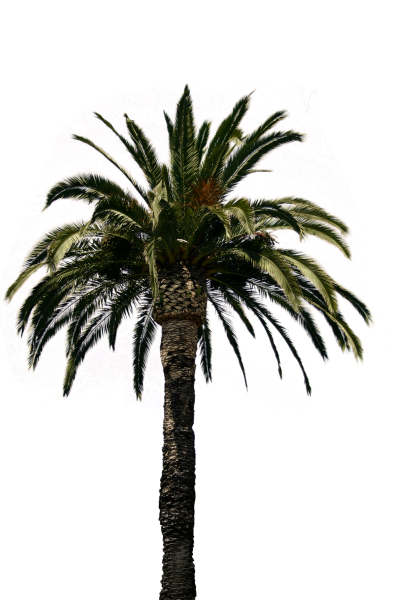 Date Palm Trees HD Image PNG Images
