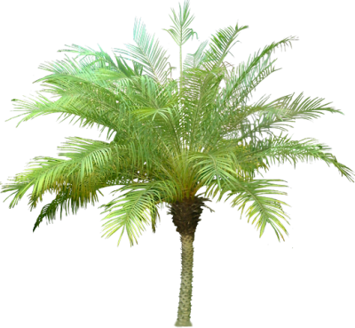 Date Palm Clipart PNG File PNG Images