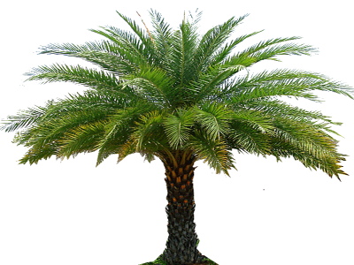 Date Palm Free Download Transparent PNG Images