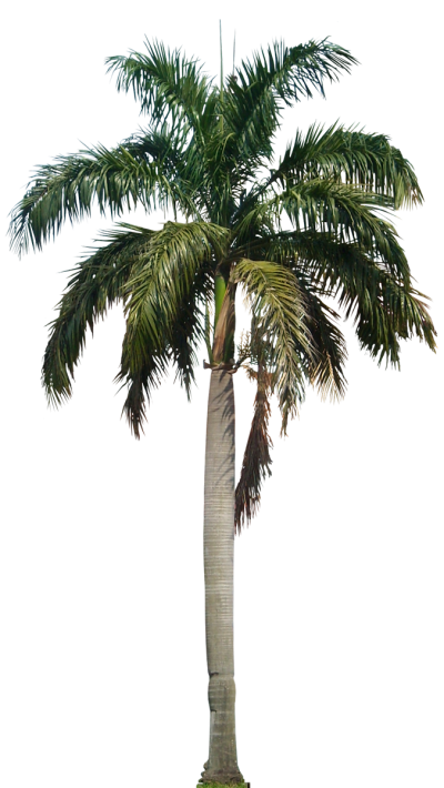 Tropical Plant, Date Palm Images PNG