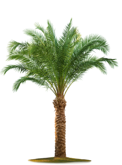 Date Palm Vector PNG Images