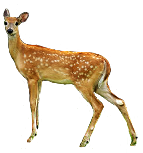 Nice Female Deer, Doe Picture PNG Images