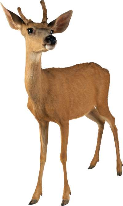 Doe, Deer Female, Images PNG PNG Images