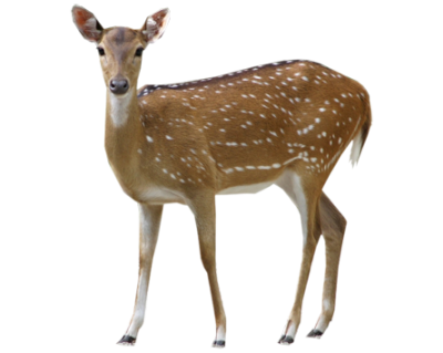 Doe, Deer Female PNG Picture PNG Images