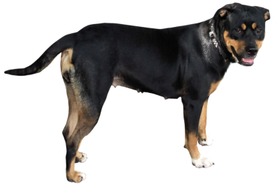 Dog Png PNG Images