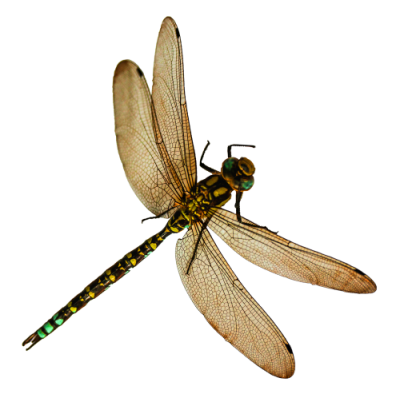 Dragonfly Tattoos File PNG Clipart PNG Images