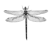 Dragonfly Tattoos Image HD PNG Images
