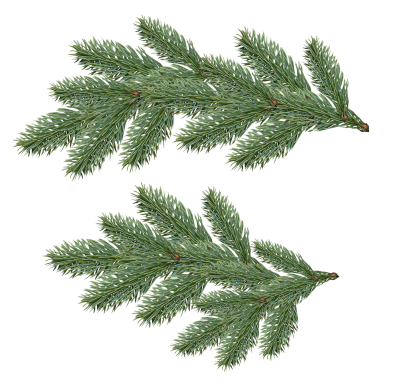 Beautiful Fir Tree Background Transparent PNG Images