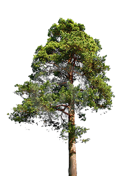 Fir Tree Clipart Transparent PNG Images