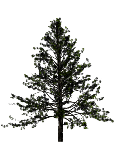 Fir Tree Hd Transparent PNG Images
