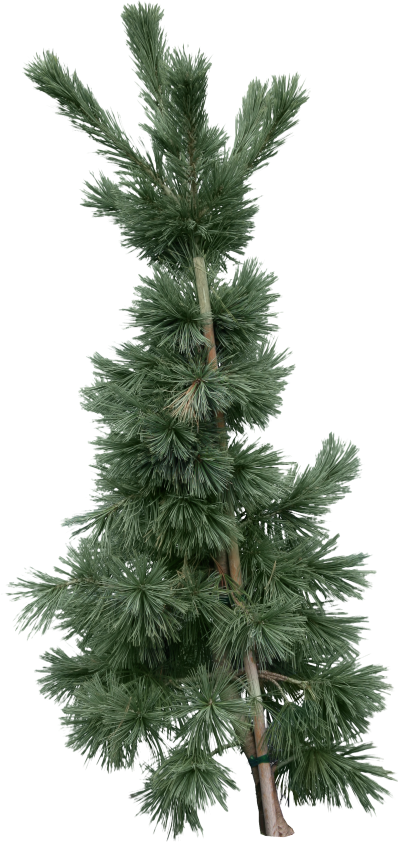 Fir Tree Png Hd PNG Images