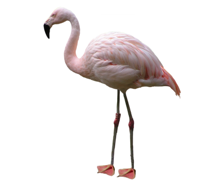 Real Pink White Flamingo Transparent Hd PNG Images