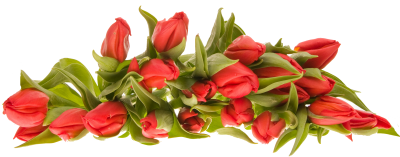 Red Tulip Floral images Hd Transparent PNG Images