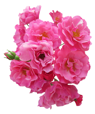Bunch Pink Rose Flower Png Image   Pngpix