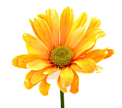 Colorful Flowers Png Orange Daisy PNG Images