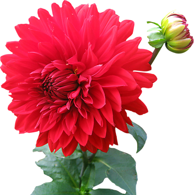 Dahlia Flower Png Image Pink PNG Images