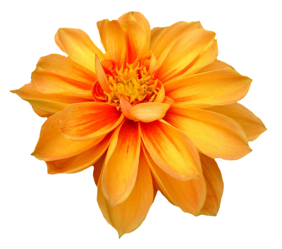 Dahlia Flower Png Orange Transparent Image