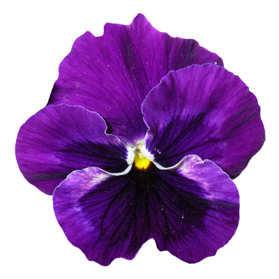 Pansy Flower Png Transparent Purple PNG Images
