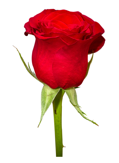 Rose Flower Png Image Photo