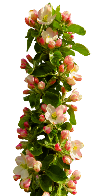 Spring Flower Png Transparent Image