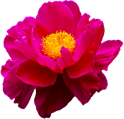 Transparent Flowers Pink Png PNG Images