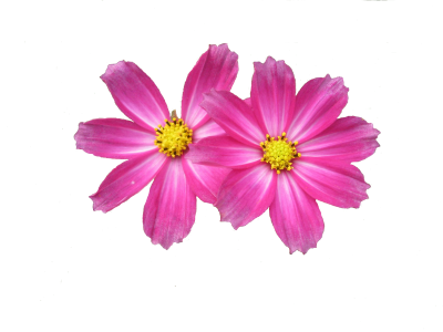 Two Pink Flower Png