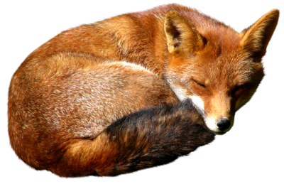 Fox Sleep Transparent Image PNG Images