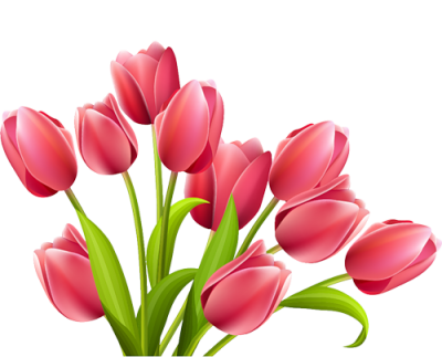 Best  Tulip Flower Png Images   PNG Images