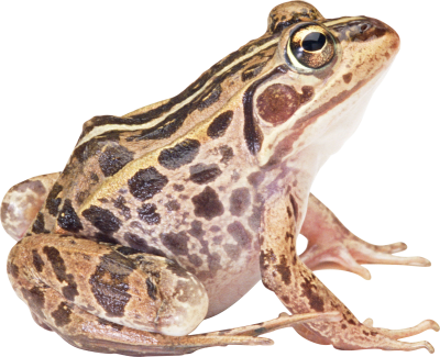 Frog Free PNG PNG Images