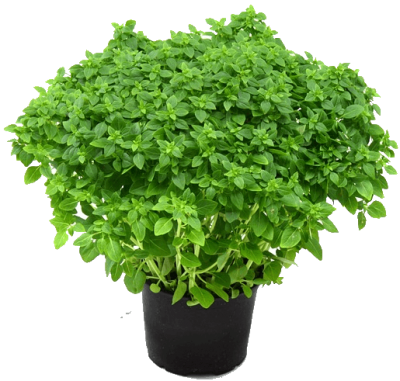 Herbs Free Download PNG Images