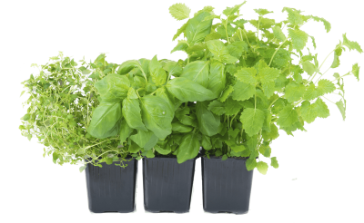 Herbs Wonderful Picture Images PNG Images