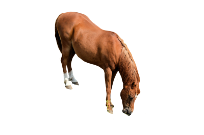 Horse Picture PNG Images