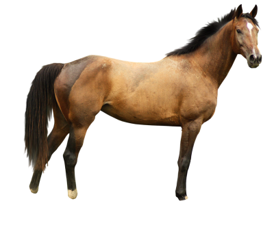 Horse Best PNG PNG Images