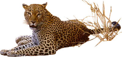 Jaguar Cut Out PNG Images