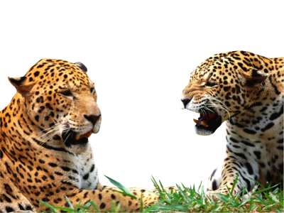 Jaguar Free Transparent Png PNG Images