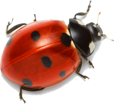 Ladybug Clipart Hd PNG Images