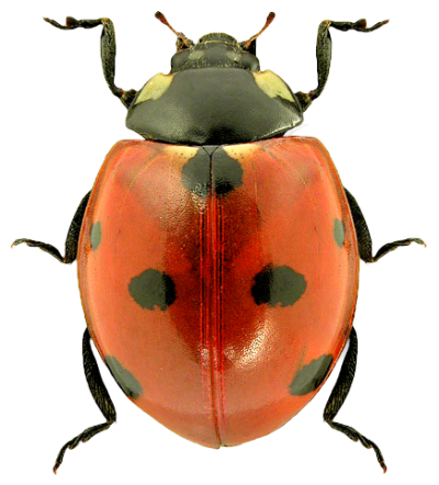 Ladybug Transparent Picture 18 PNG Images