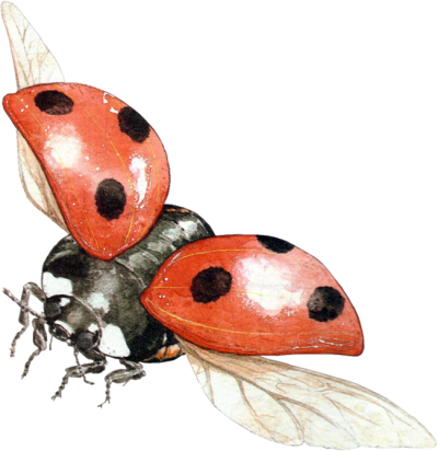 Ladybug Wonderful Picture Images PNG Images