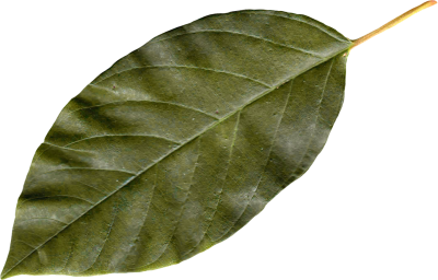 Leaf Transparent PNG Images