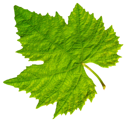 Leaf Transparent Background PNG Images
