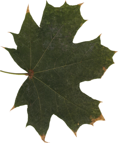 Leaf Free Download Transparent