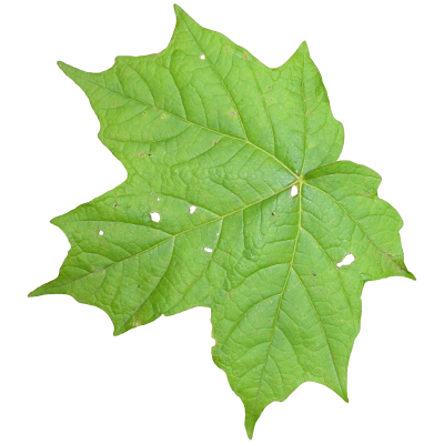 Leaves Cut Out Png PNG Images