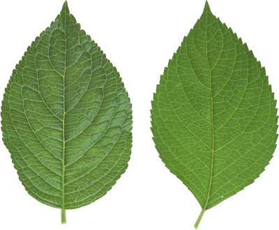Leaves HD Image PNG Images