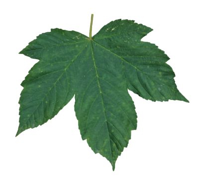 Leaves Transparent Picture PNG Images