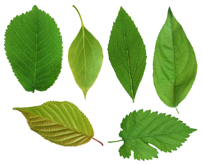 Leaves PNG Icon PNG Images