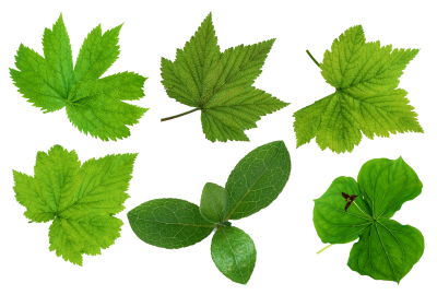 Leaves Free Cut Out PNG Images