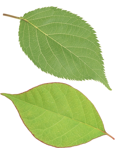 Leaves Vector PNG Images
